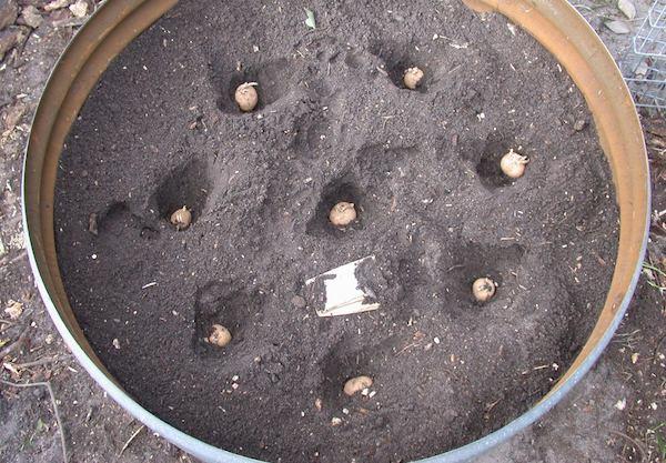 Sadnja krompira u buretu 2