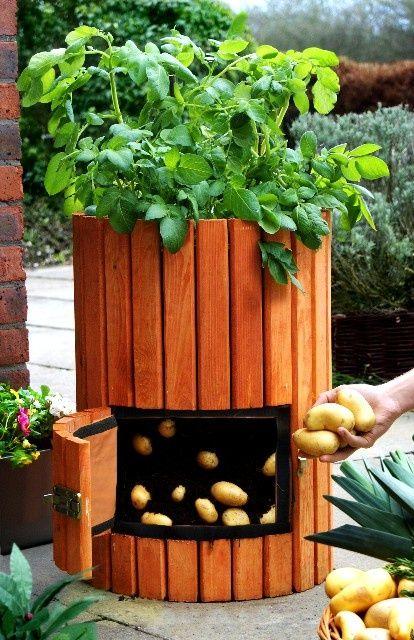 sadnja krompira u buretu3
