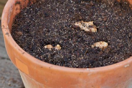 biljke-đumbir