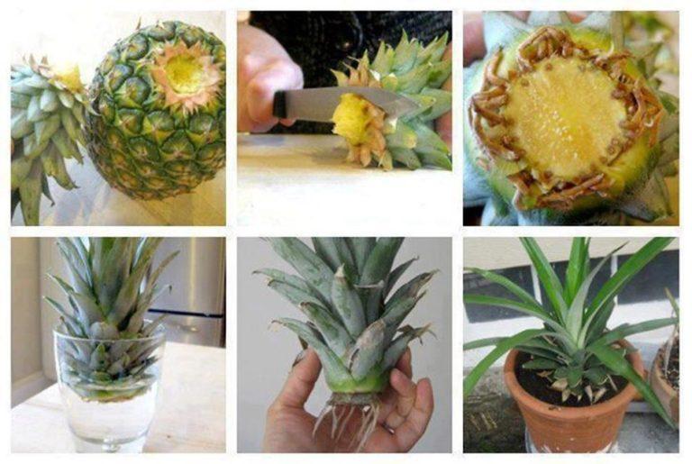 biljke-ananas